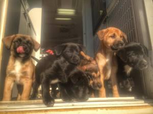 Dogs RMG
